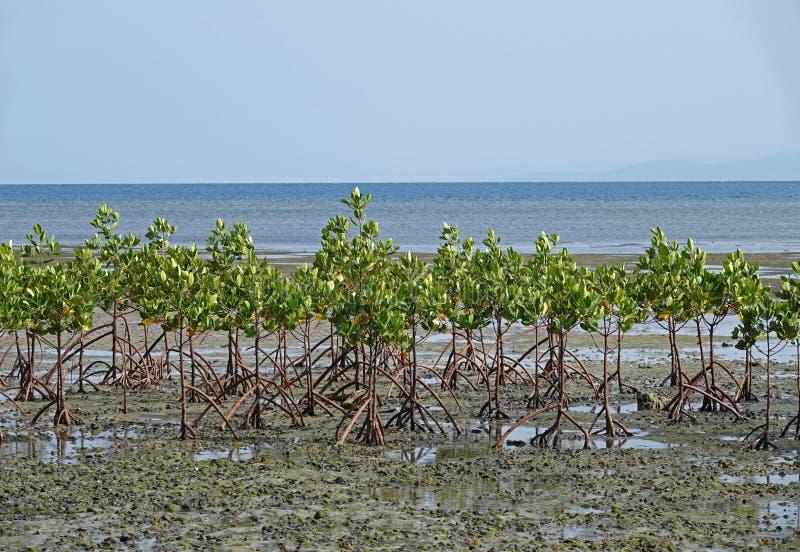 Δέντρα μαγγροβίων στην παραλία του νησιού Beqa, Φίτζι στοκ φωτογραφία