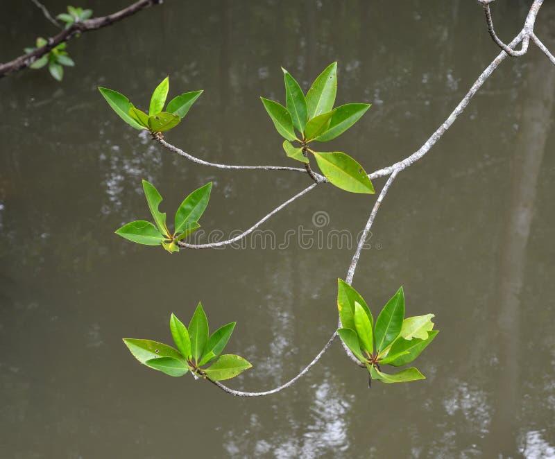 Δέντρα μαγγροβίων στο δάσος στοκ εικόνες με δικαίωμα ελεύθερης χρήσης