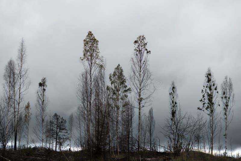 Δέντρα μετά από την πυρκαγιά στοκ φωτογραφίες