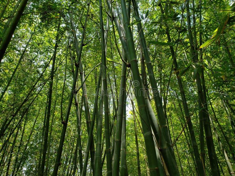 δέντρα μπαμπού με την πράσινη εποχή φυλλώματος την άνοιξη στοκ εικόνα