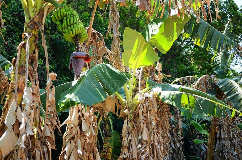 Δέντρα μπανανών με τα φρούτα στην κοιλάδα Vinales, Κούβα στοκ εικόνα