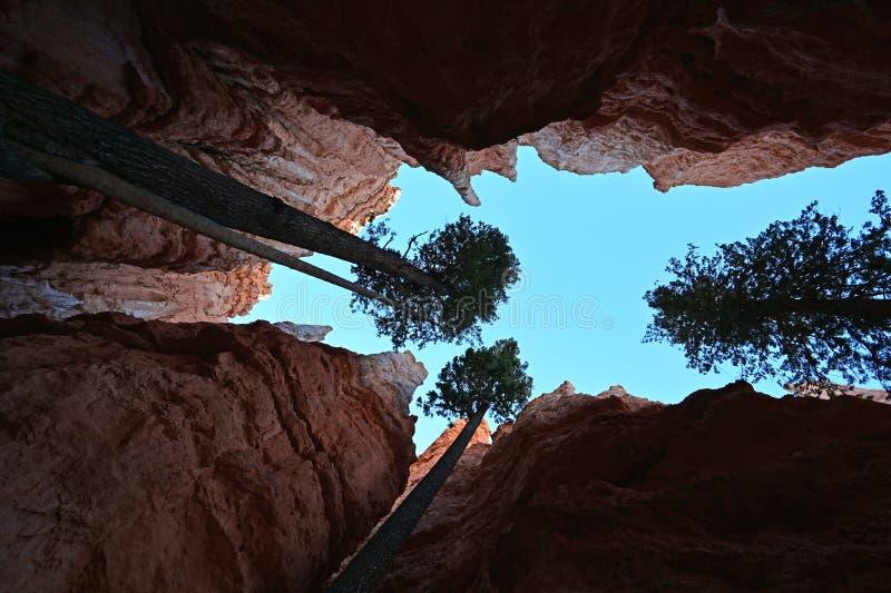 Δέντρα Ντάγκλας-έλατου στο ίχνος βρόχων Ναβάχο στο φαράγγι του Bryce στοκ εικόνες