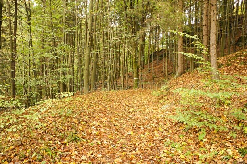 Δέντρα οξιών σε ένα δάσος στοκ φωτογραφίες