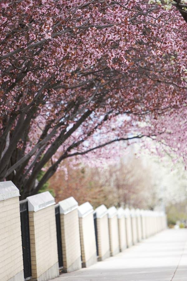 δέντρα πεζοδρομίων κάλυψης κερασιών στοκ φωτογραφία