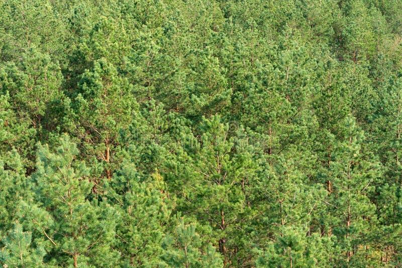 Δέντρα πεύκων, δασικό περιβάλλον, υπόβαθρο φύσης, εναέρια άποψη στοκ εικόνες με δικαίωμα ελεύθερης χρήσης
