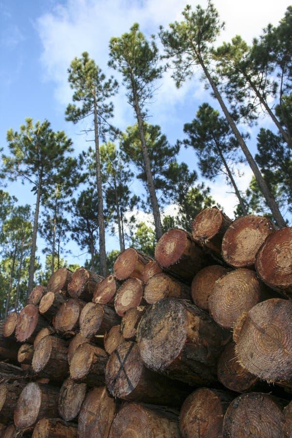 Δέντρα πεύκων και συσσωρευμένη δασονομία κούτσουρων στοκ εικόνες με δικαίωμα ελεύθερης χρήσης
