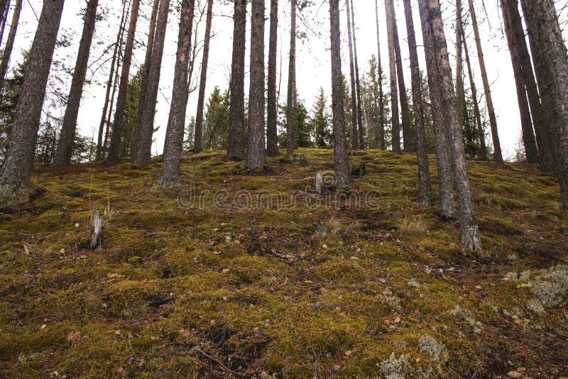 Δέντρα πεύκων που αυξάνονται στην απότομη κλίση στο δάσος στοκ φωτογραφίες με δικαίωμα ελεύθερης χρήσης