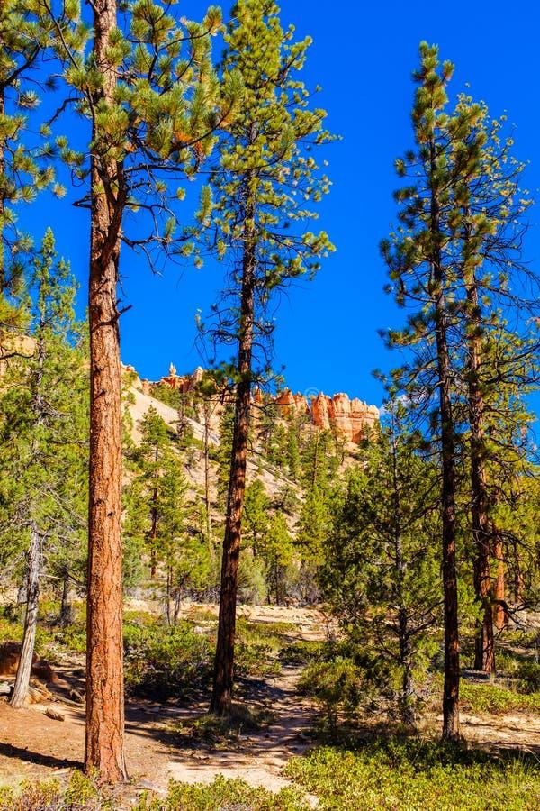 Δέντρα πεύκων που αυξάνονται στη βασική γραμμή φαραγγιών του Bryce στοκ φωτογραφία