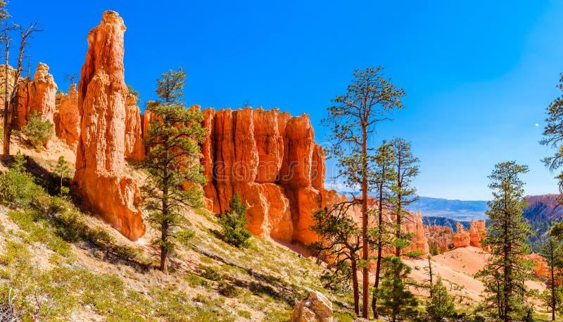 Δέντρα πεύκων που αυξάνονται στη βασική γραμμή φαραγγιών του Bryce στοκ φωτογραφίες