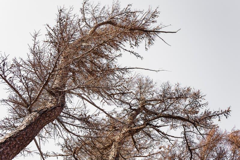 Δέντρα πεύκων στο υποστήριγμα Φούτζι στοκ εικόνα με δικαίωμα ελεύθερης χρήσης
