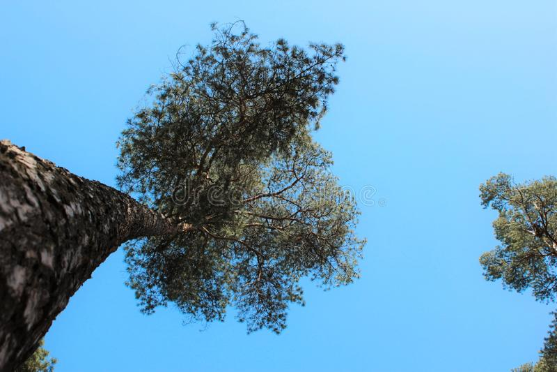 Δέντρα πεύκων στο υπόβαθρο μπλε ουρανού στοκ εικόνες με δικαίωμα ελεύθερης χρήσης