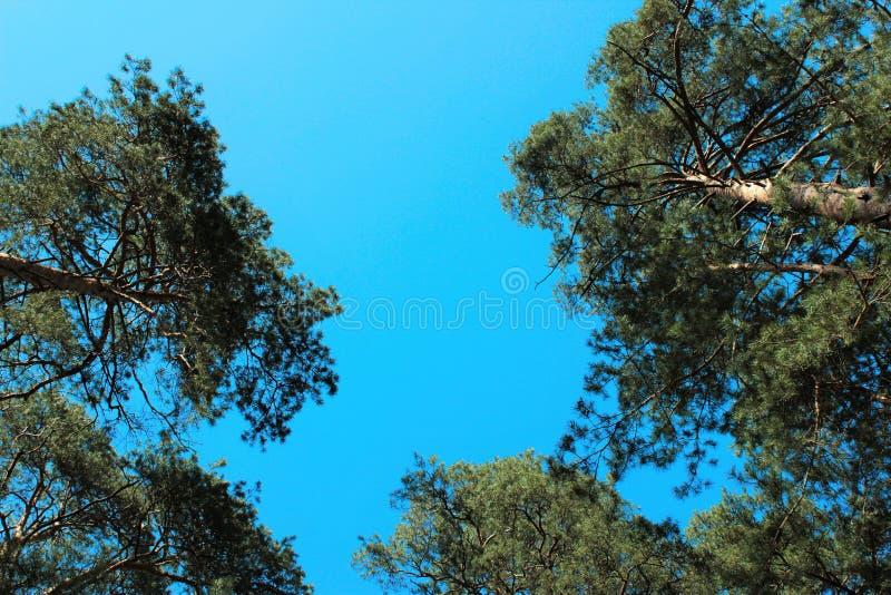 Δέντρα πεύκων στο υπόβαθρο μπλε ουρανού στοκ φωτογραφία με δικαίωμα ελεύθερης χρήσης