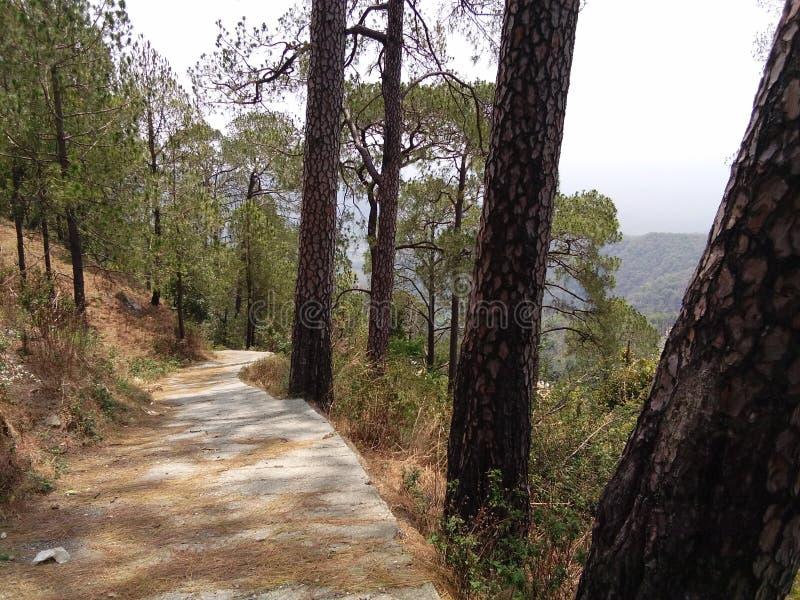 Δέντρα πεύκων στο nainital δάσος που φαίνεται τόσο όμορφο στο uttarakhand, Ινδία στοκ εικόνες