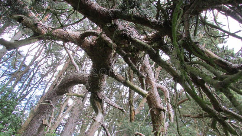 Δέντρα πεύκων Gnarled scot στοκ φωτογραφίες