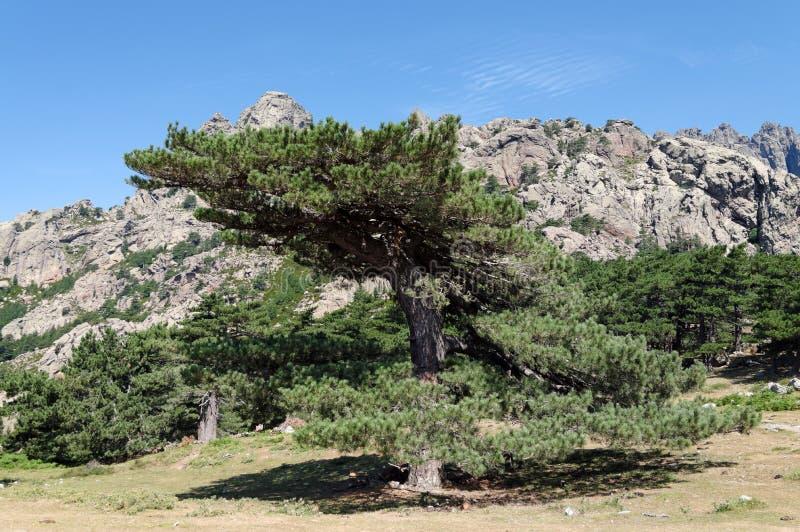 Δέντρα πεύκων lariccio Bavella στοκ φωτογραφία