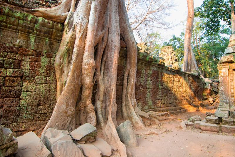 Δέντρα που ριζοβολούν στους τοίχους του αρχαιολογικού πάρκου της Καμπότζης ` s Angkor Wat στοκ φωτογραφίες με δικαίωμα ελεύθερης χρήσης