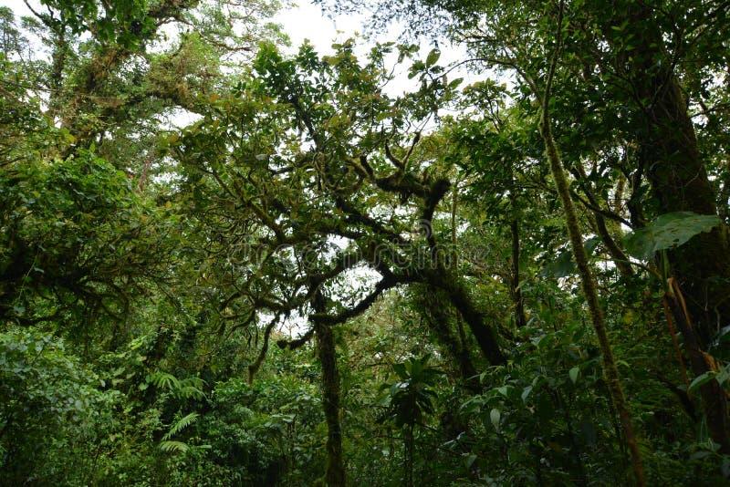 Δέντρα που τυλίγονται Λιάνα-παράσιτα και που εισβάλλονται στα σγουρά με το βρύο στοκ εικόνες