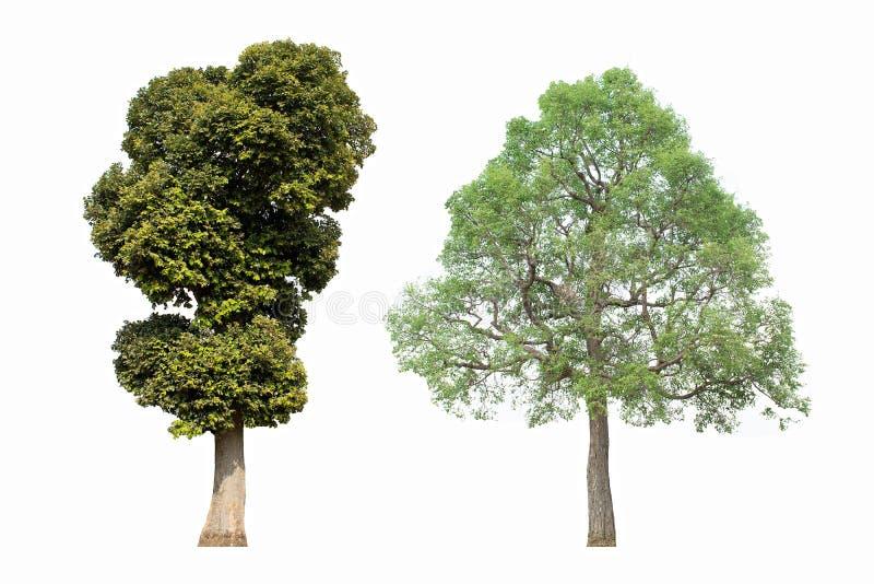 2 δέντρα σε ένα άσπρο υπόβαθρο στοκ φωτογραφίες με δικαίωμα ελεύθερης χρήσης