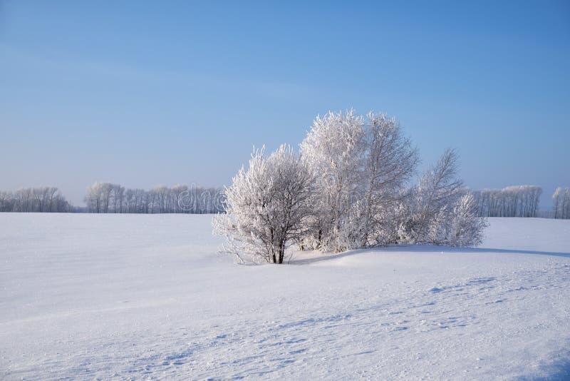 Δέντρα σημύδων κάτω από το hoarfrost στον τομέα χιονιού στη χειμερινή εποχή στοκ φωτογραφία με δικαίωμα ελεύθερης χρήσης