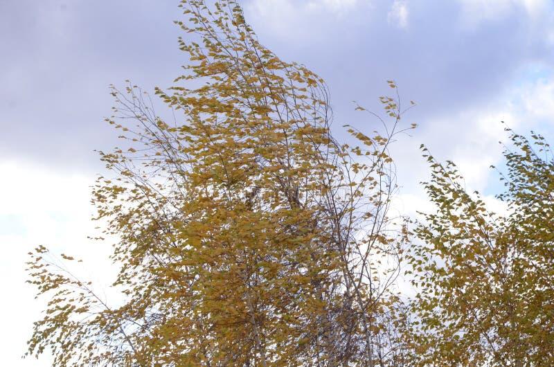 Δέντρα σημύδων με τα όμορφα κίτρινα φύλλα στον αέρα θορίου στοκ φωτογραφία