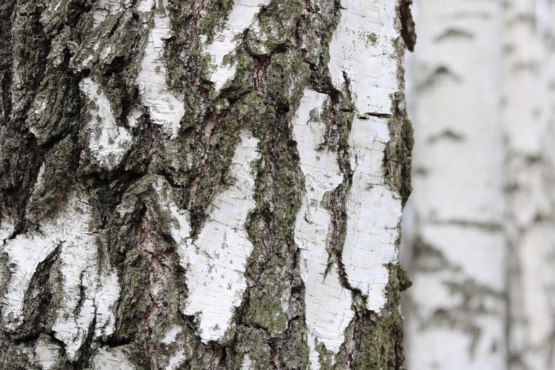 Δέντρα σημύδων με το γραπτό φλοιό σημύδων στοκ εικόνες