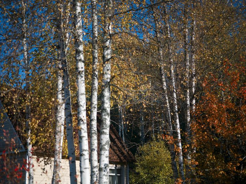 Δέντρα σημύδων το φθινόπωρο στοκ φωτογραφία με δικαίωμα ελεύθερης χρήσης