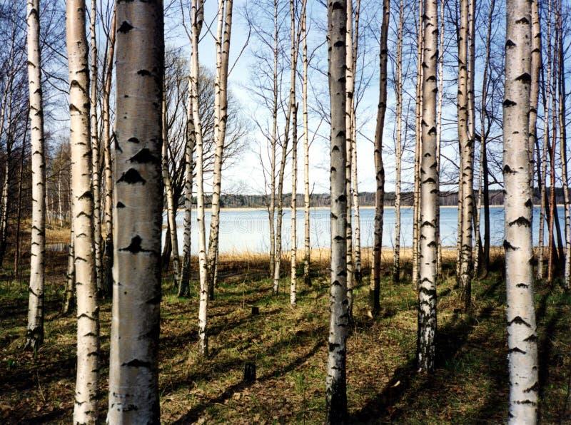 δέντρα σημύδων στοκ εικόνες με δικαίωμα ελεύθερης χρήσης