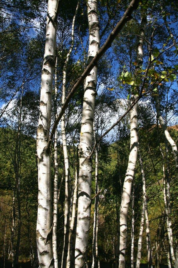 δέντρα σημύδων στοκ εικόνες
