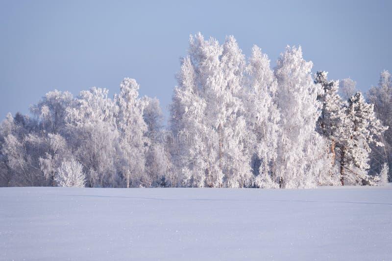 Δέντρα σημύδων κάτω από το hoarfrost στον τομέα χιονιού στη χειμερινή εποχή στοκ εικόνα