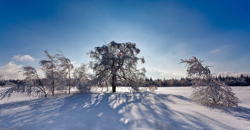 Δέντρα σημύδων σκιών χειμερινού χιονιού backlight, υψηλοί βάλτοι, Βέλγιο στοκ φωτογραφία