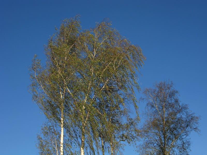 Δέντρα σημύδων στον αέρα στοκ εικόνα