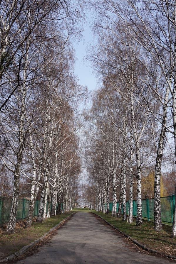 Δέντρα σημύδων στοκ φωτογραφίες με δικαίωμα ελεύθερης χρήσης