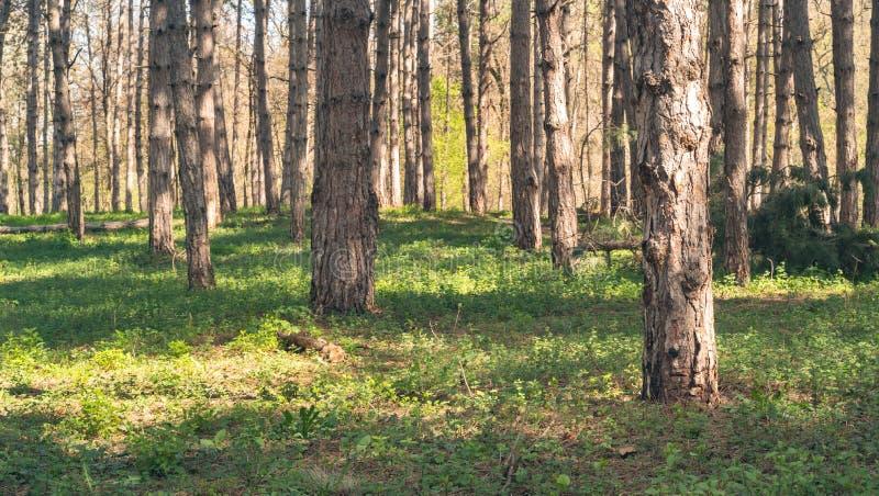 Δέντρα στη δασώδη περιοχή ή το δάσος με τα χρυσά χρώματα φωτός του ήλιου στην άνοιξη και πράσινη χλόη με την εκλεκτική εστίαση ως στοκ εικόνα