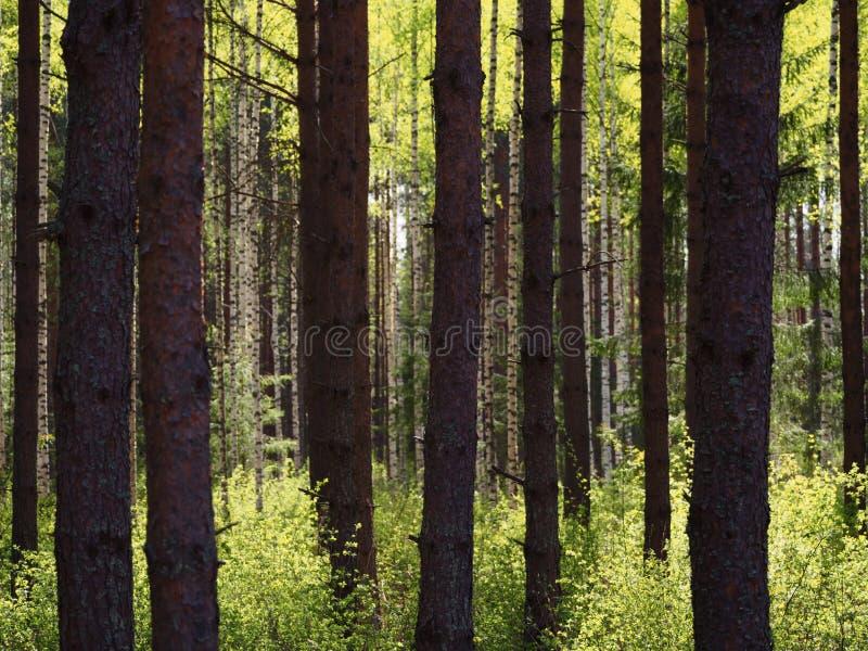 Δέντρα στο δάσος άνοιξης στοκ φωτογραφία με δικαίωμα ελεύθερης χρήσης