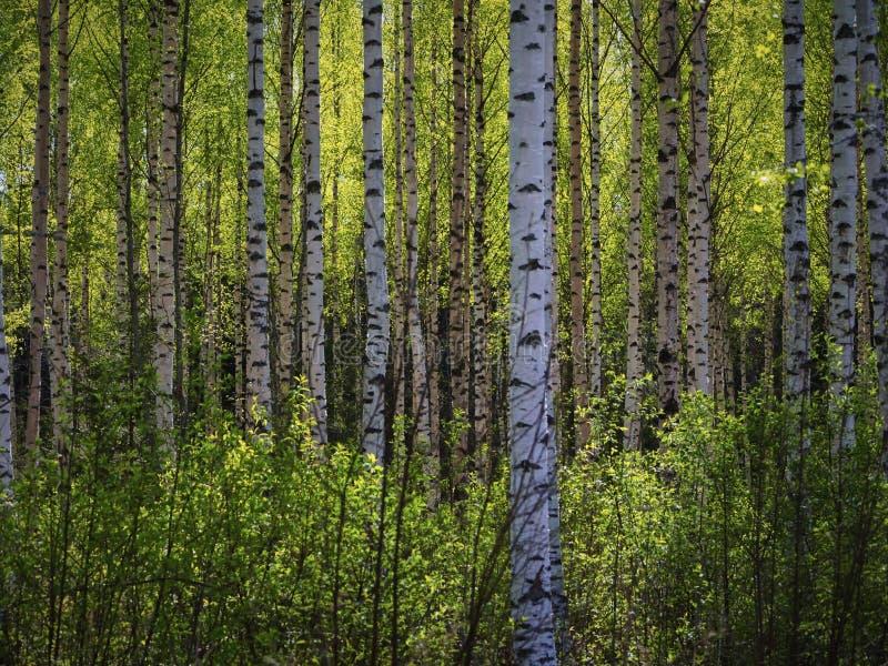 Δέντρα στο δάσος άνοιξης στοκ φωτογραφία