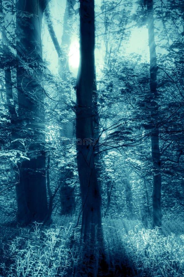Δέντρα στο δασόβιο δάσος με τις ακτίνες ελαφριών ακτίνων που λάμπουν μέσω των κλάδων Με τον μπλε τονισμό στοκ φωτογραφία με δικαίωμα ελεύθερης χρήσης
