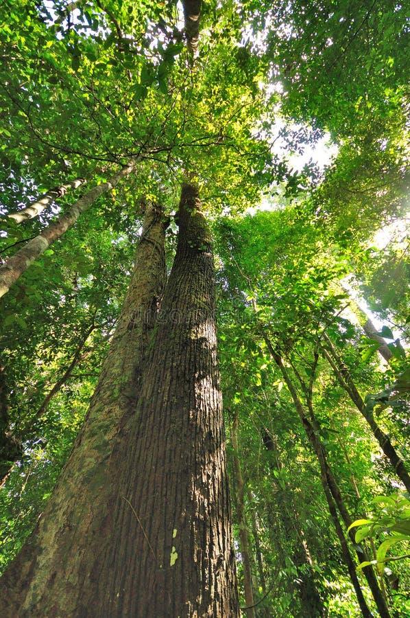 Δέντρα στο τροπικό δάσος στοκ εικόνα