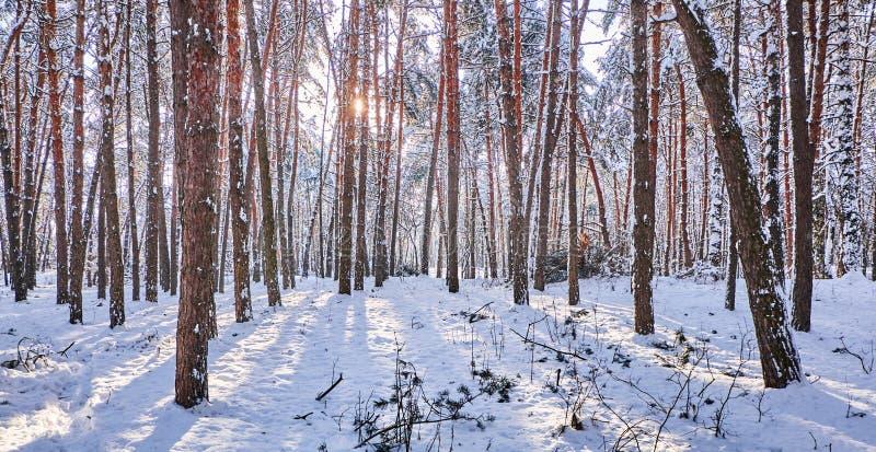 Δέντρα στο χειμερινό πάρκο Πεύκα που καλύπτονται με το χιόνι σε ένα ξύλο Εποχιακό υπόβαθρο στοκ εικόνα με δικαίωμα ελεύθερης χρήσης