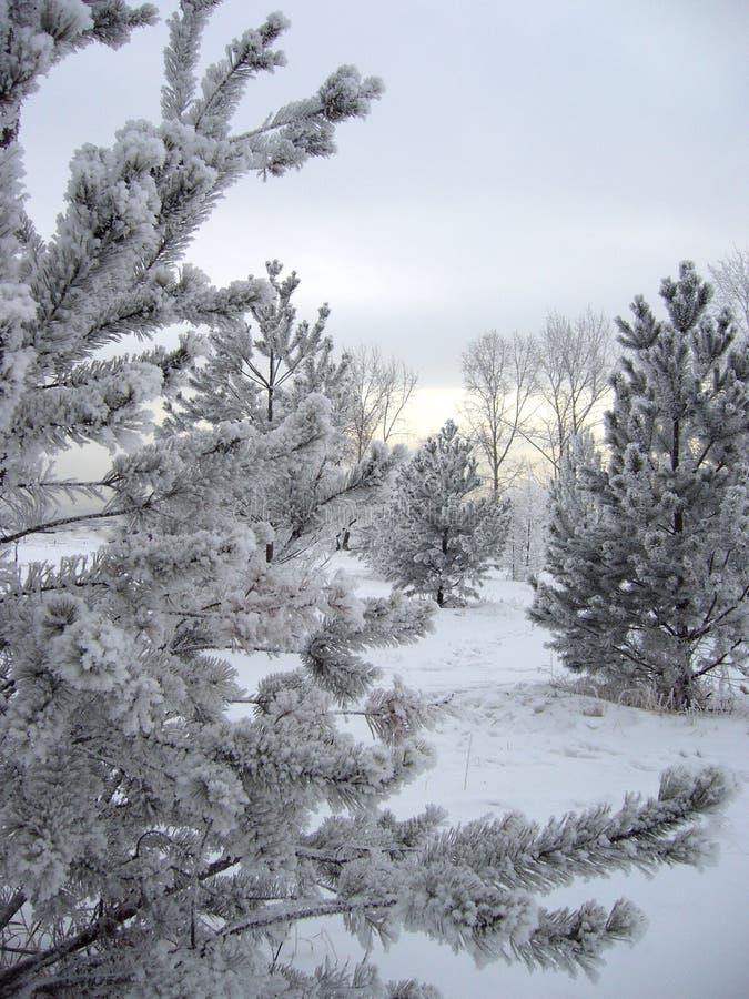 Δέντρα στο χιόνι στο πικρό κρύο το χειμώνα στοκ εικόνα