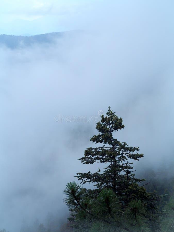 Δέντρα τα απομονωμένα πεύκων στέκονται επάνω από τη γρήγορα κινούμενη ομίχλη που αυξάνεται επάνω στην απότομη κορυφογραμμή του πλ στοκ φωτογραφίες