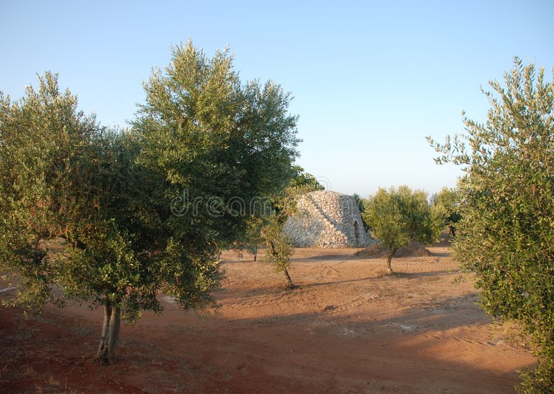 δέντρα της Πούλιας ελιών στοκ εικόνες