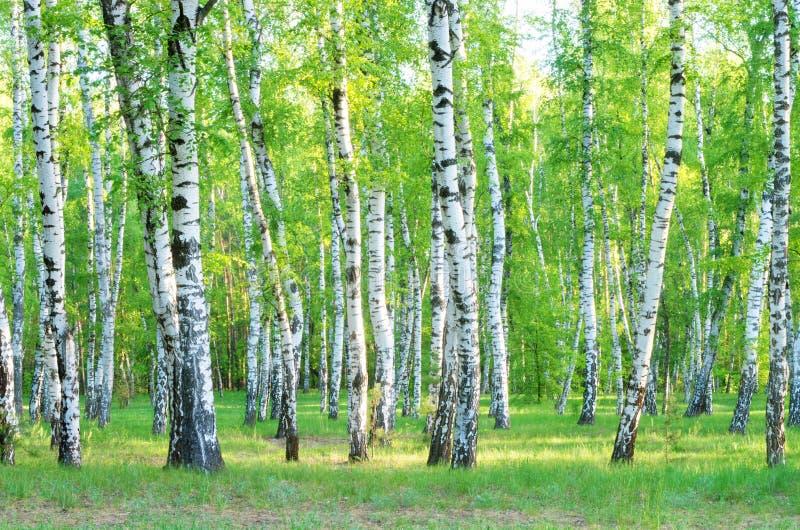 Δέντρα της σημύδας στοκ εικόνα