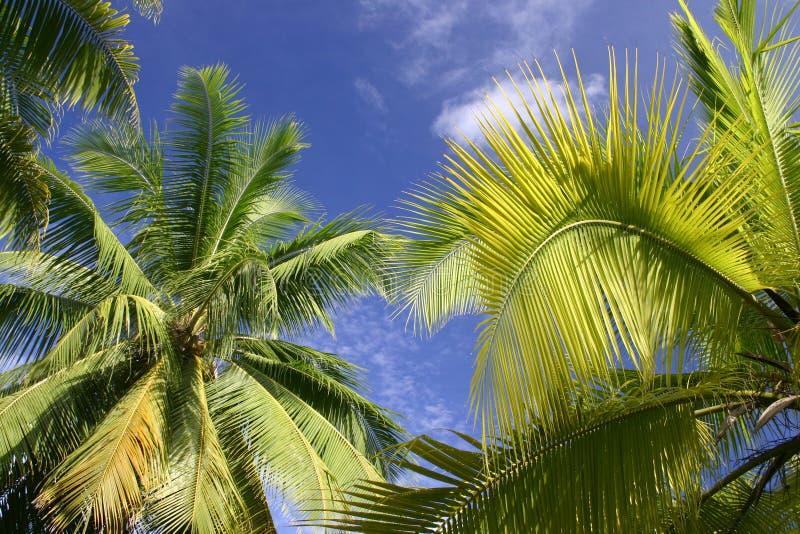 δέντρα της Ταϊτή φοινικών στοκ εικόνα
