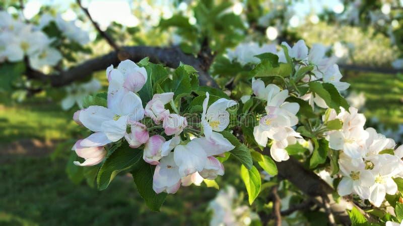 Δέντρα 3 της Apple στοκ φωτογραφία με δικαίωμα ελεύθερης χρήσης