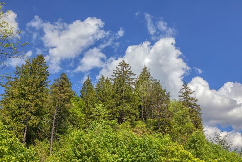 Δέντρα του FIR ενάντια στο μπλε ουρανό στοκ εικόνες με δικαίωμα ελεύθερης χρήσης