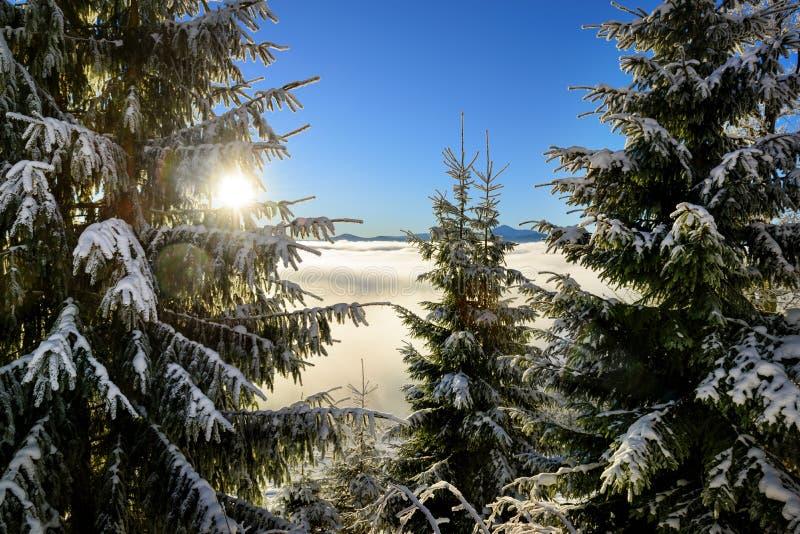 Δέντρα του FIR που καλύπτονται από το χιόνι στην ανατολή στοκ εικόνες
