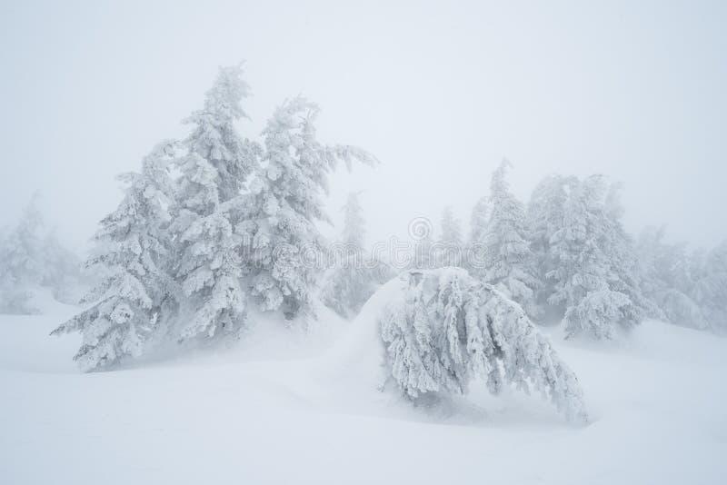 Download Δέντρα του FIR στο χιόνι στοκ εικόνες. εικόνα από χειμώνας - 62703390