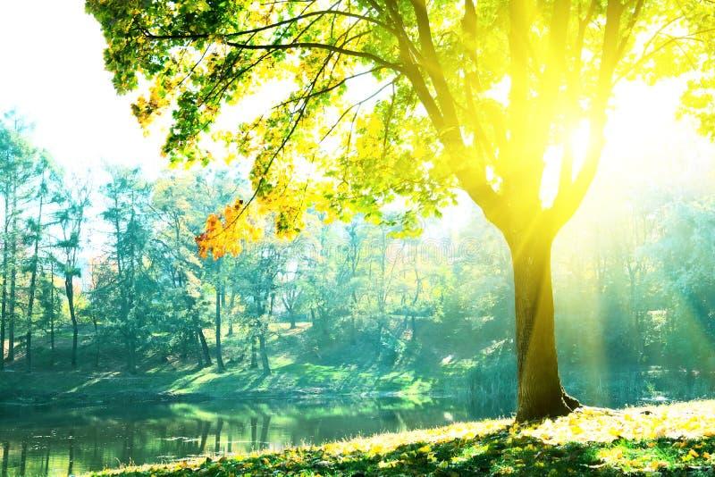 Δέντρα φθινοπώρου με τα πολύχρωμα φύλλα με την άποψη στη λίμνη Φως του ήλιου από το φύλλωμα σφενδάμνου στην ηλιόλουστη ημέρα στοκ εικόνα
