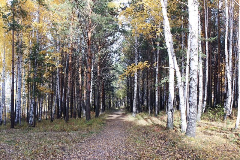Download Δέντρα φθινοπώρου σε μια δασική λουρίδα Στοκ Εικόνα - εικόνα από δέντρα, ημέρα: 62708727