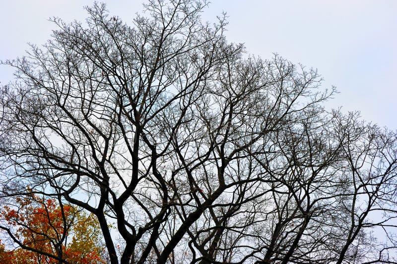 Δέντρα φθινοπώρου χωρίς φύλλα, γυμνοί κλάδοι δέντρων της βαλανιδιάς στοκ εικόνες με δικαίωμα ελεύθερης χρήσης
